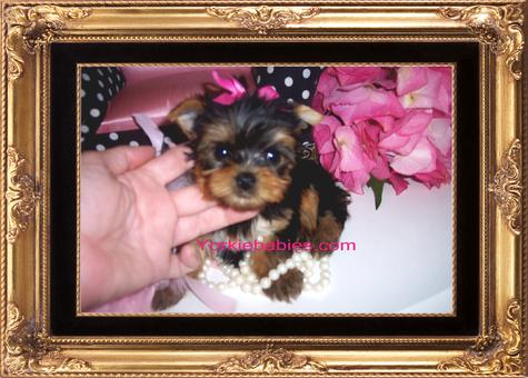 Teacup Yorkie, Teacup Yorkies, Yorkies for Sale, Micro