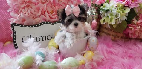 morkie,MORKIES,morkiepuppies, puppies, yorkiebabies, teacup puppies, teacuppuppystore, florida, dogs, dog, puppiesfor sale, morkiesforsalee