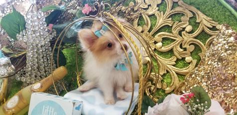Elegant Teacup Pomeranians, Pomeranian Puppies for Sale