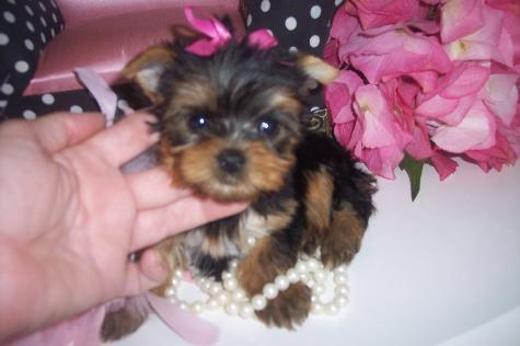 CARING FOR YOUR YORKIE PUPPY
