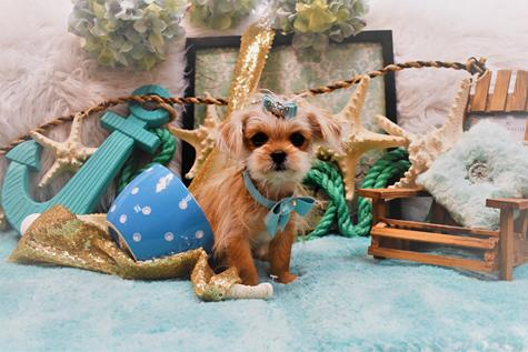 YORKIES, YORKIE,TEACUPYORKIE,YORKIES, DOGS, PUPPIES, PUPPYS