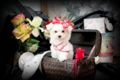 YORKIEBABIES.COM TEACUP MALTESE PUPPIES, MALTESE FOR SALE IN FLORIDA,