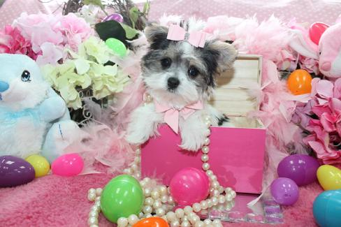 Morkie |Teacup Morkie| Morkie Puppies for Sale |Maltipoo
