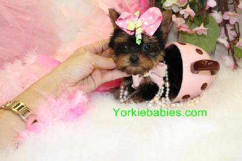 Teacup Yorkie Information Tea Cup Care Feeding Puppies